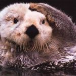 Sea Otters Rape and Drown Baby Seals