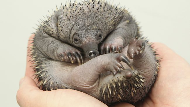 echidna testicles under chin