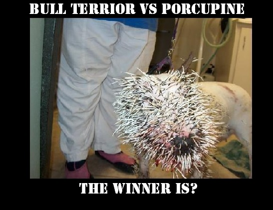 HOW MANY quills DOES A PORCUPINE HAVE