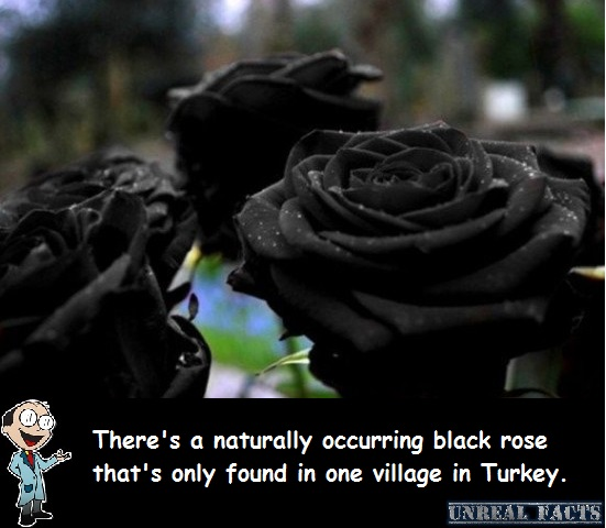 black rose halfeti
